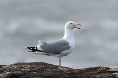 A Herring Gull seagull perched on a rock calling. An adult Herring Gull, seagull, Larus argentatus argenteus, perched and calling on a rock by the sea. UK Stock Photos