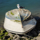 Herring gull is sitting on a turned fishing boat Royalty Free Stock Images
