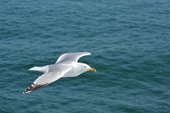 Herring gull soaring over the ocean along side a North Sea ferry Royalty Free Stock Image