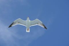 Herring gull soaring over the ocean along side a North Sea ferry Royalty Free Stock Images