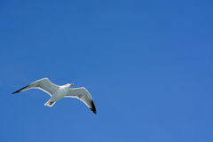 Herring gull soaring over the ocean along side a North Sea ferry Royalty Free Stock Photography