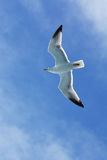 Herring gull soaring over the ocean along side a North Sea ferry Stock Images