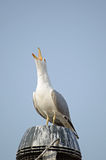 Herring Gull squarking Royalty Free Stock Images