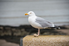 Herring Gull stading on a wall Stock Image
