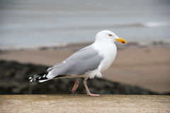 Herring Gull stading on a wall Royalty Free Stock Images