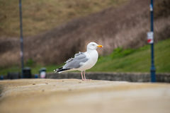 Herring Gull stading on a wall Royalty Free Stock Photography