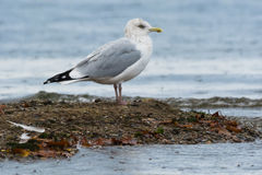 Herring Gull Royalty Free Stock Photography