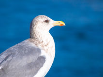 Herring gull standing in front of blue ocean Royalty Free Stock Images