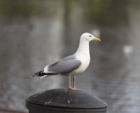 Herring Gull standing guard. Royalty Free Stock Photos