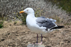 Herring Gull Standing on Post. Large Herring Gull standing on a post with feathers ruffled by wind royalty free stock image