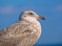Herring gull standing to the blue ocean Stock Image