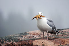 Herring gull with starfish Royalty Free Stock Photography
