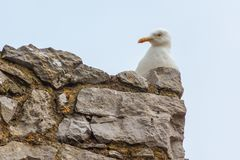 Herring Gull on Stone Wall. A Herring Gull Larus argentatus sitting on top of a stone wall, head and body only Stock Image