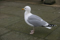 Herring gull on pavement Stock Images