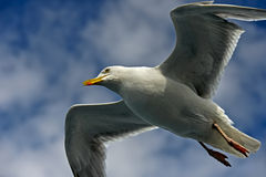 Herring gull with stretched wings Royalty Free Stock Photography
