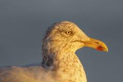 Herring Gull at sunset. Close-up of Herring Gull at sunset, taken at Ocean City, Maryland Stock Image