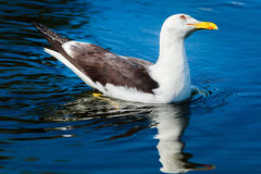 Herring gull swimming in bright blue water. And tilting its head royalty free stock photography