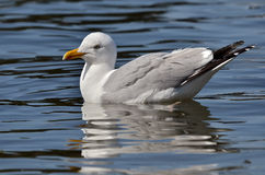 Herring gull swimming on water Stock Photos