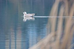 Herring Gull. The Herring Gull is swimming in winter river. Scientific name: Larus argentatus Royalty Free Stock Images