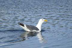 Herring gull swims in water. A Herring Gull, Larus Argentatus, in Westhaven Cove in Westport, Washington Stock Photography
