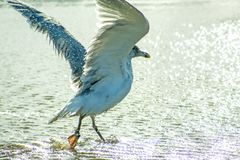 Herring Gull Taking A Bath In The Baltic Sea Stock Photography