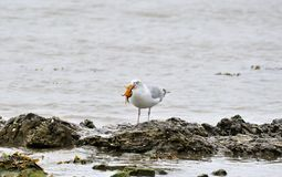 Herring Gull. View of herring gull on sea shore having just caught a crab, West Frisian island of Texel, North Holland Stock Image