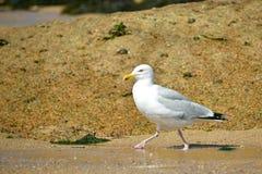 Herring gull walking on sand Royalty Free Stock Photo