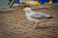 Herring Gull Walking on Stone Path. A Herring Gull Larus argentatus walking on a stone path Royalty Free Stock Images
