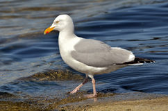 Herring gull walking in water Royalty Free Stock Images