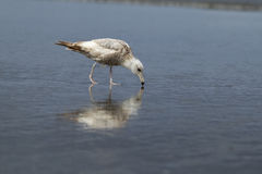 Herring Gull walks on the beach searching for food. Royalty Free Stock Images