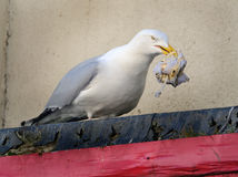 Herring Gull with waste food. Stock Photo