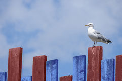 Herring gull watching. Single herring gull on blue and red fence towards the right with blue sky and fluffy clouds behing Stock Photos