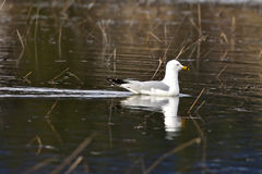 Herring gull in water. Royalty Free Stock Images