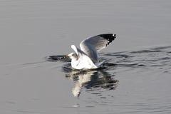 Herring gull in water. Royalty Free Stock Photos