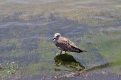 Herring gull Royalty Free Stock Photography