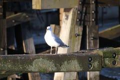 Herring Gull On Wooden Beam Stock Photo