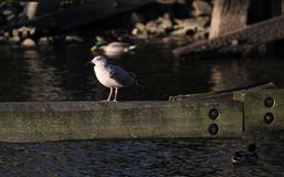 Herring Gull On Wooden Beam Stock Photo