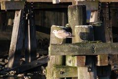 Herring Gull On Wooden Beam Royalty Free Stock Photo