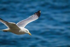 Herring Gull & x28;Larus Argentatus& x29; soaring over the ocean Stock Photo