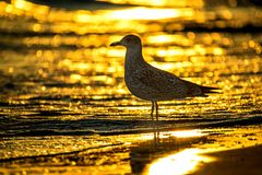 Herring gull, young bird on a beach of the Baltic sea during sunrise Stock Image