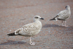 Herring Gull Stock Image