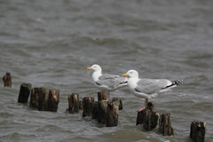 Herring gulls Royalty Free Stock Photos