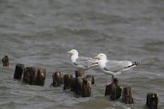 Herring gulls Royalty Free Stock Photos