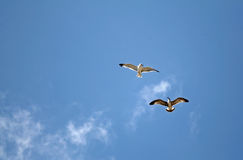 Herring-gulls Stock Image