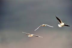 Herring gulls Royalty Free Stock Images