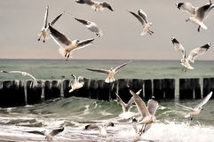 Herring gulls Stock Image