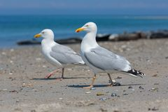 Herring gull at beach of German island Dune near Helgoland. Herring gulls at beach of German island Dune near Helgoland in the Northsea royalty free stock image