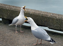 Herring Gulls calling. Stock Photography