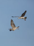 Herring Gulls in flight Stock Photography