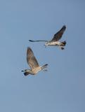 Herring Gulls in flight Stock Photography